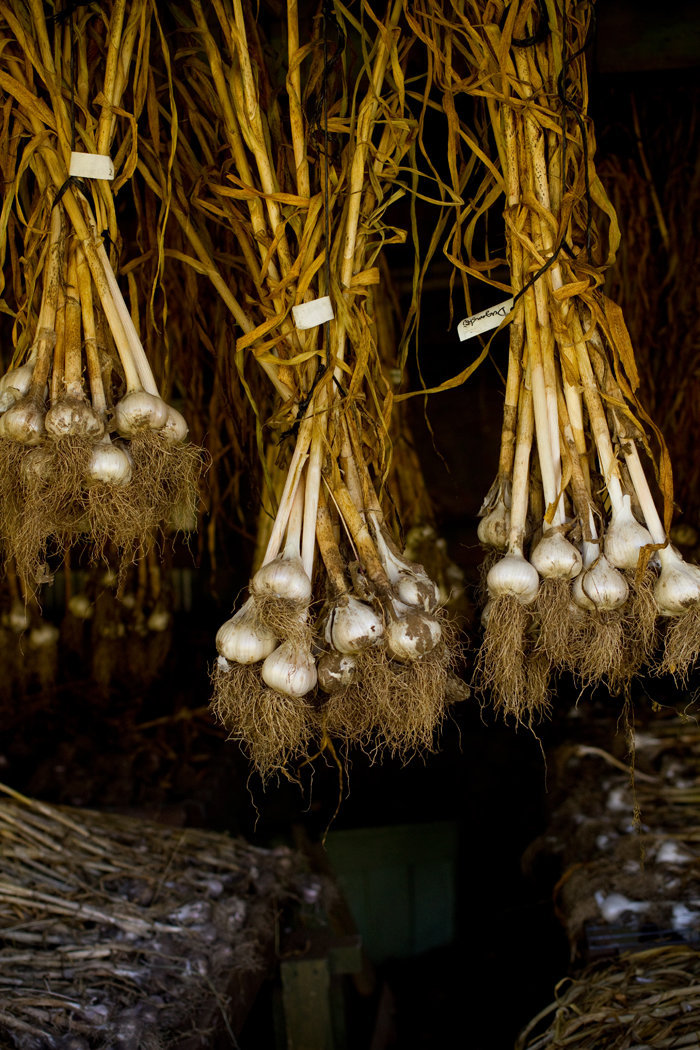 GarlicCuring_9298.jpg