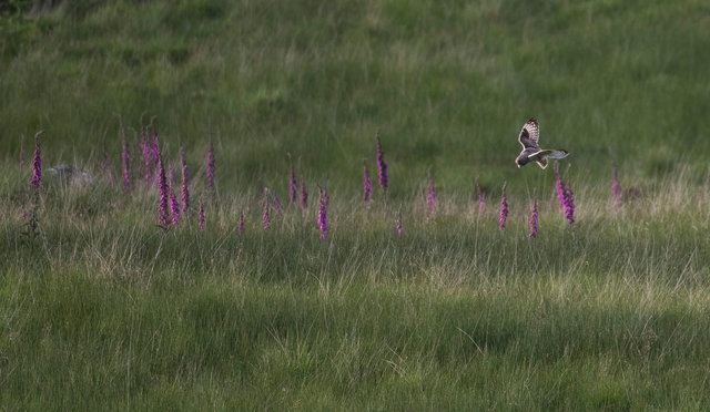 Short-eared owl and foxgloves