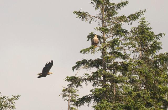 White-tailed eagle pair