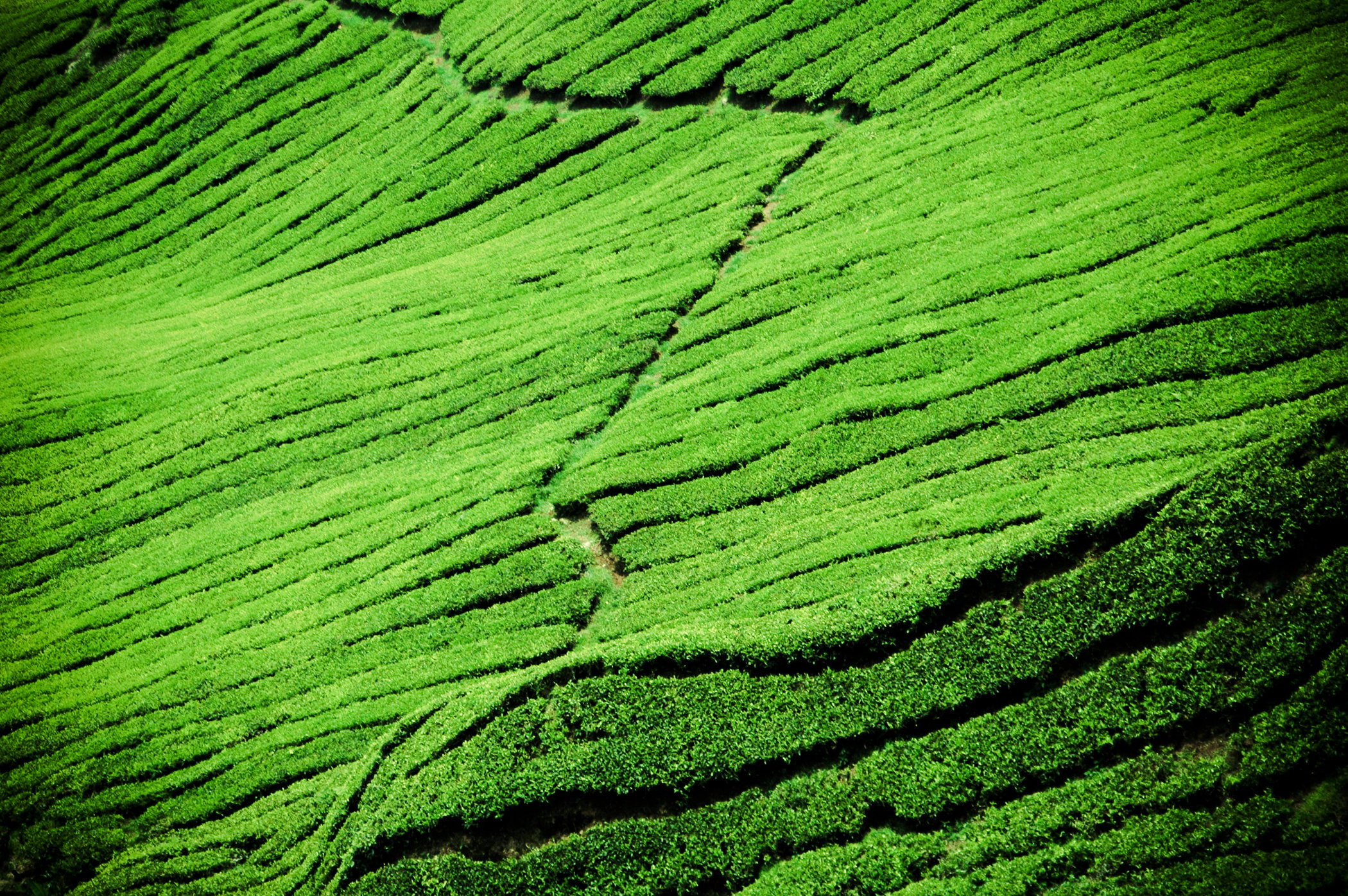 Tea Fields of Hangzhou