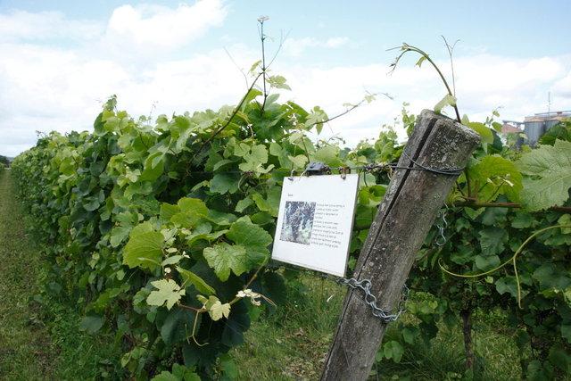wijnbouw  - azewijn wijngoed avitera