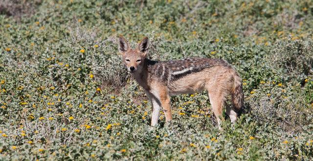 Black-backed Jackal (Canis mesomelas, zadeljakhals)