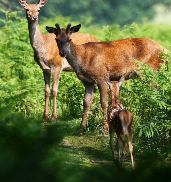 Red Deer Calf, Stag and Hind