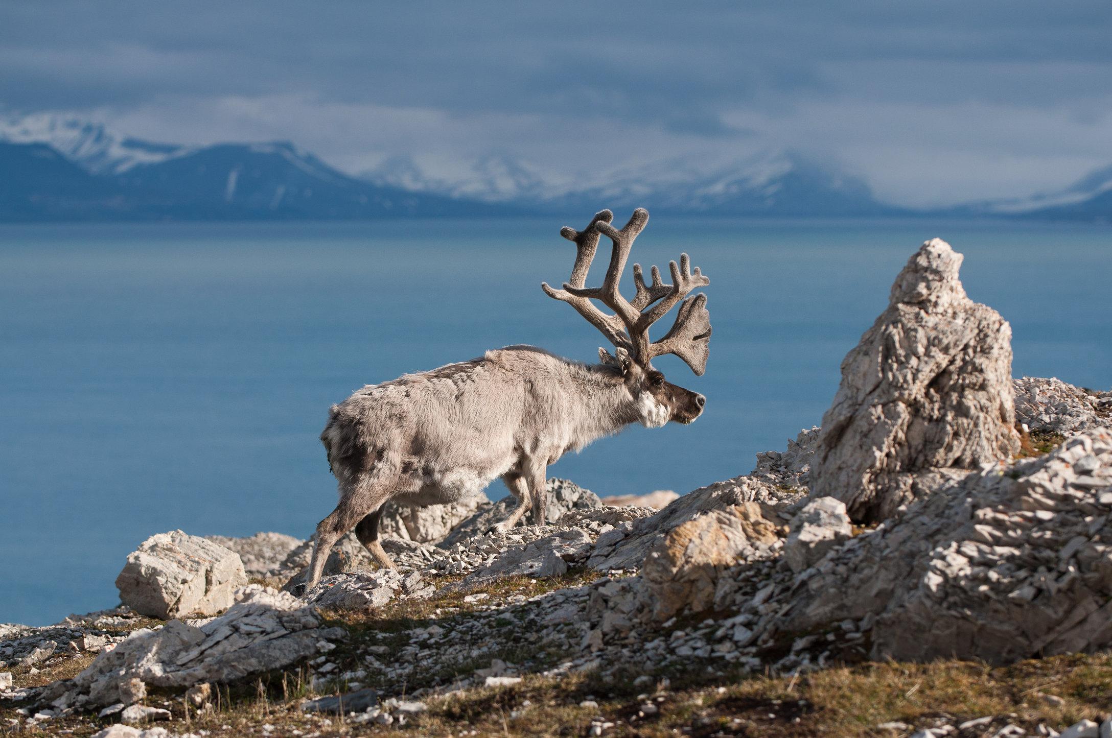 Svalbard Reindeer-Alkhornet, Svalbard.jpg