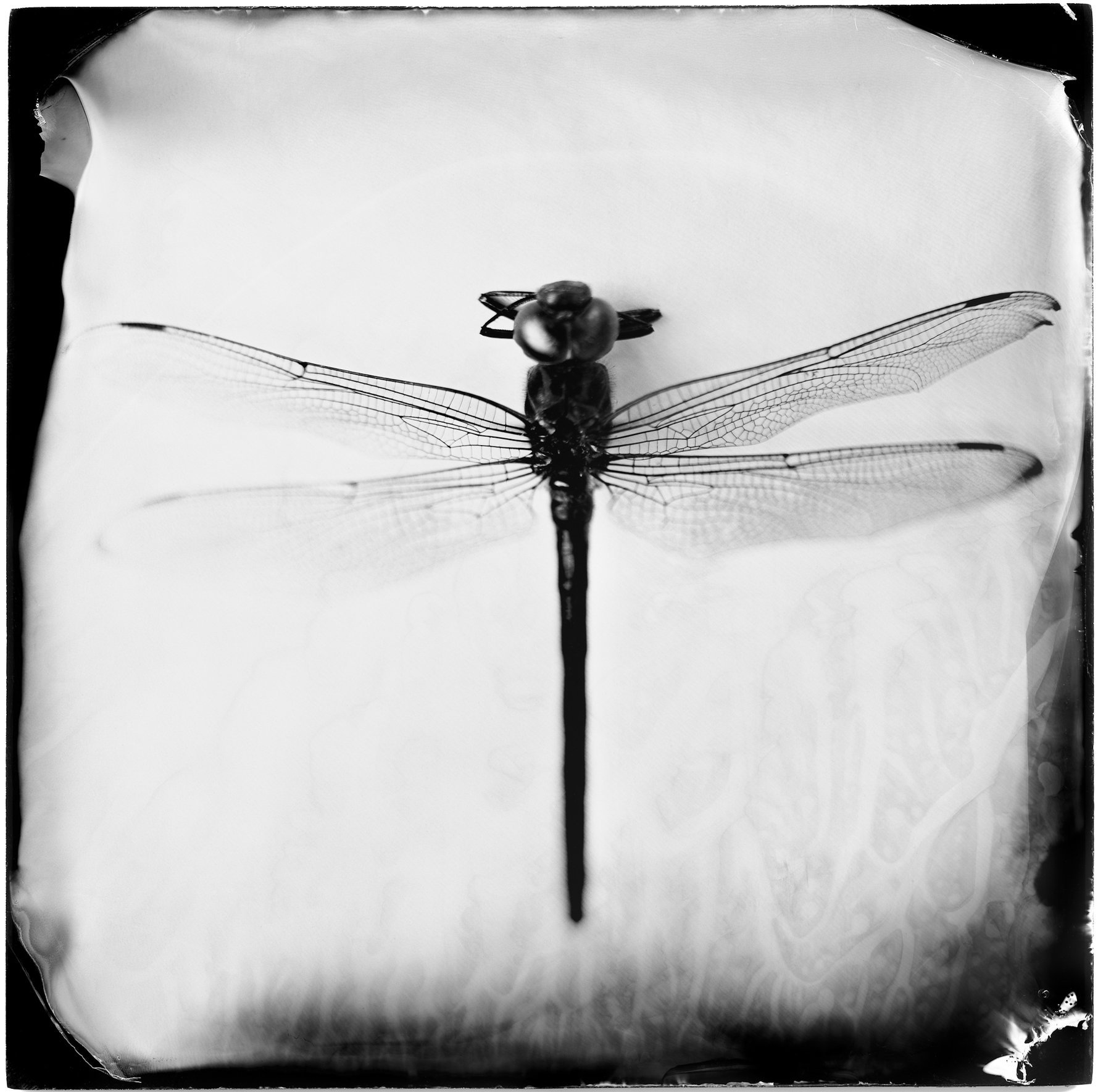 Odonata Epiprocta (dragonfly), 19th century