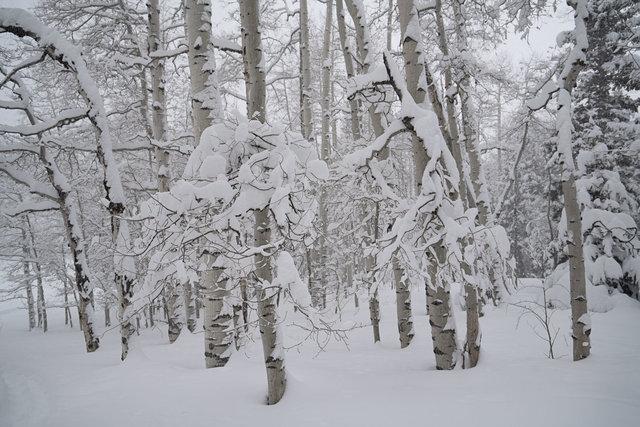 April Snow on Aspens