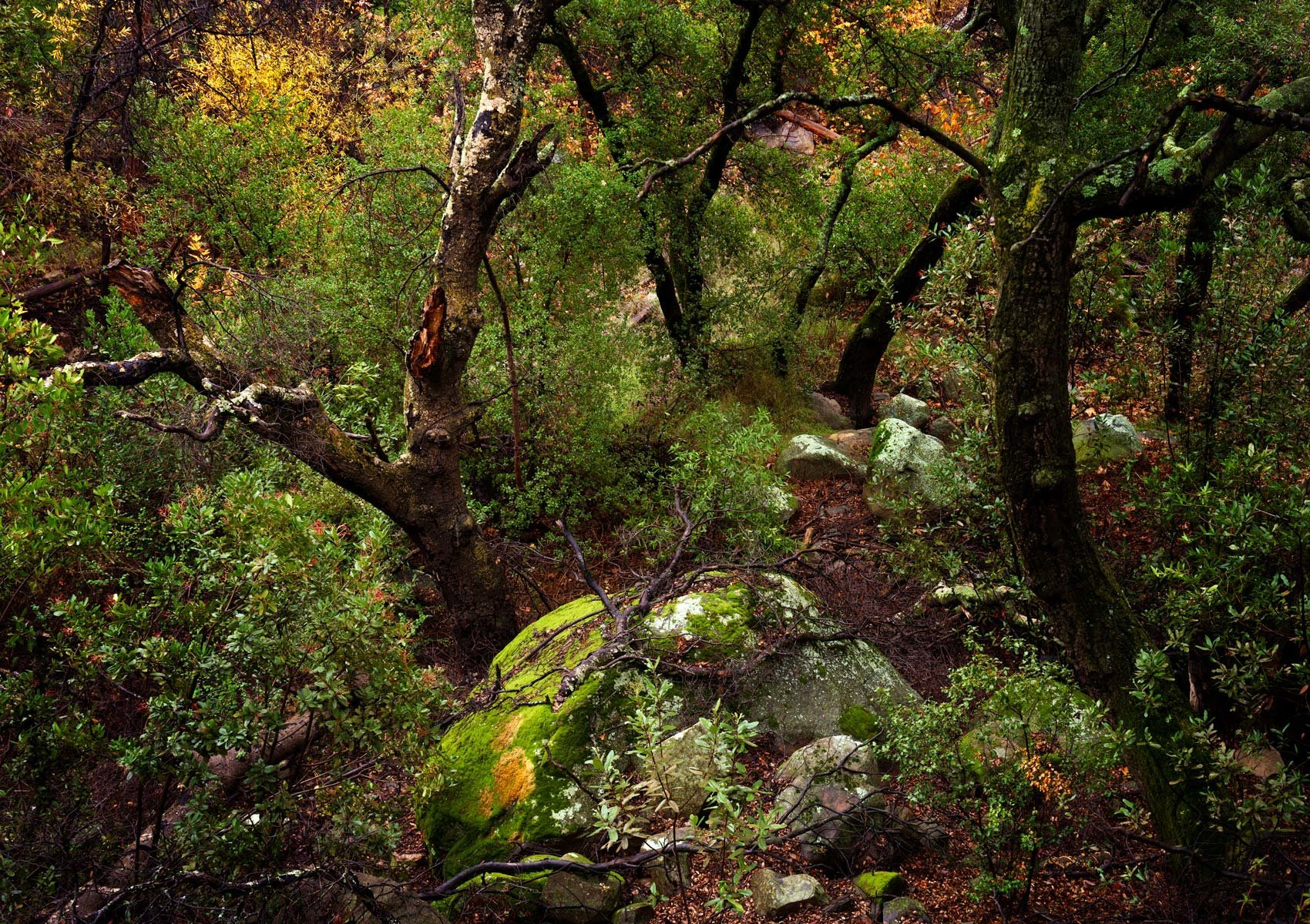 Oaks and Moss Rock