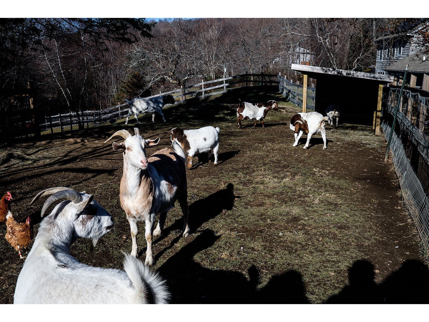 Goats gathered together.jpg
