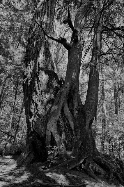 Tree-bw84.jpg