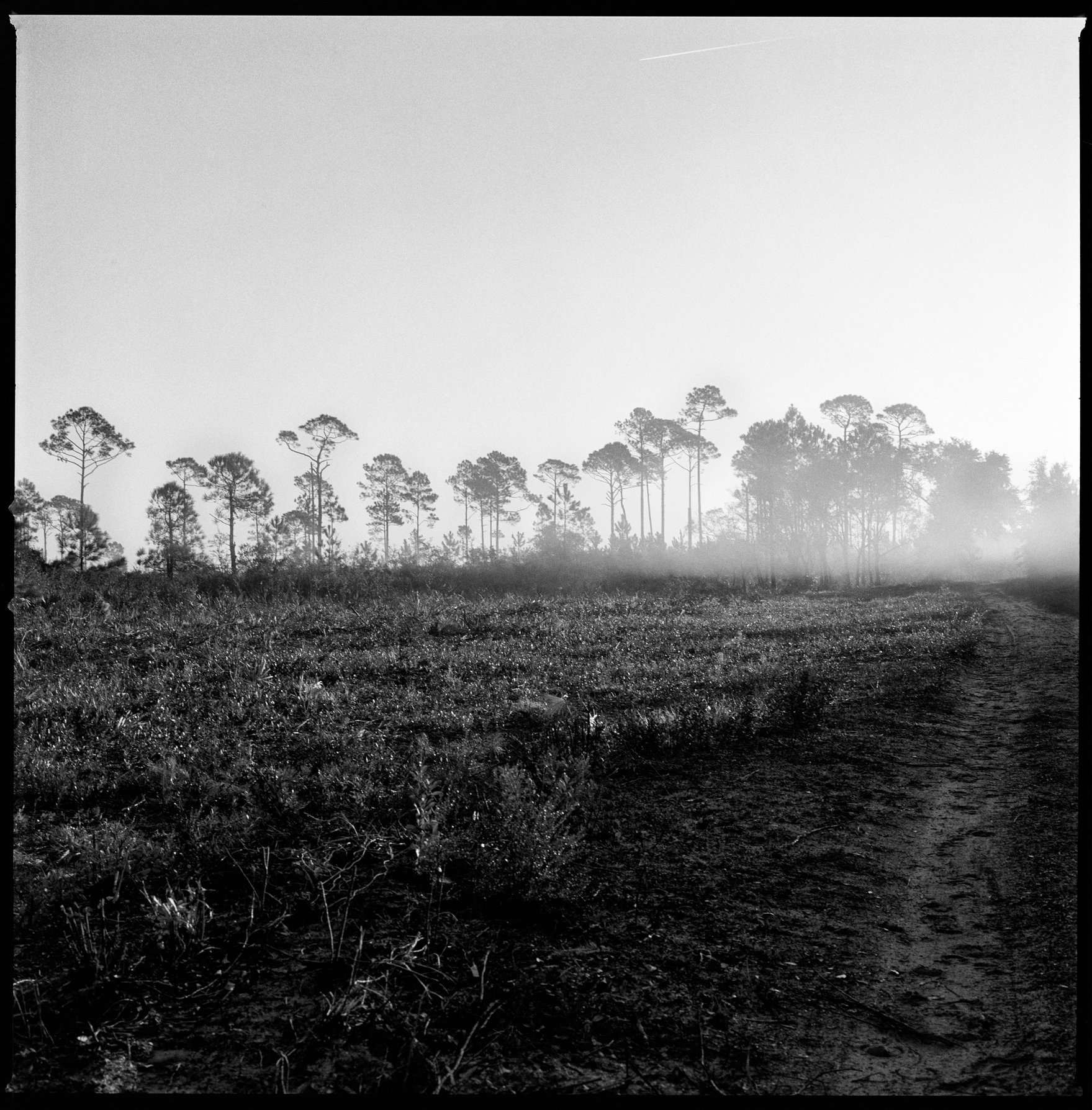 Longleaf Pines and Fog on Horizon, North Cut Road