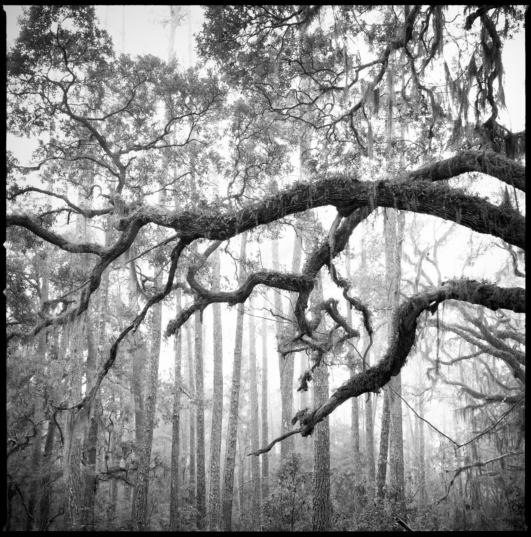 Live Oak & Longleaf Pines in Fog, Old River Trail