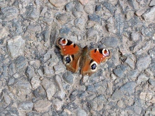 Sunbathing Peacock Butterfly by Alison Gracie