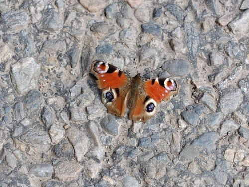 Sunbathing Peacock Butterfly by Alison Gracie