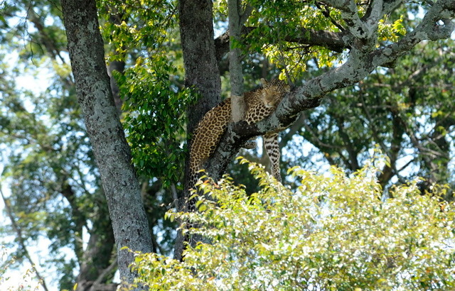 Tree Leopardess, Masai Mara