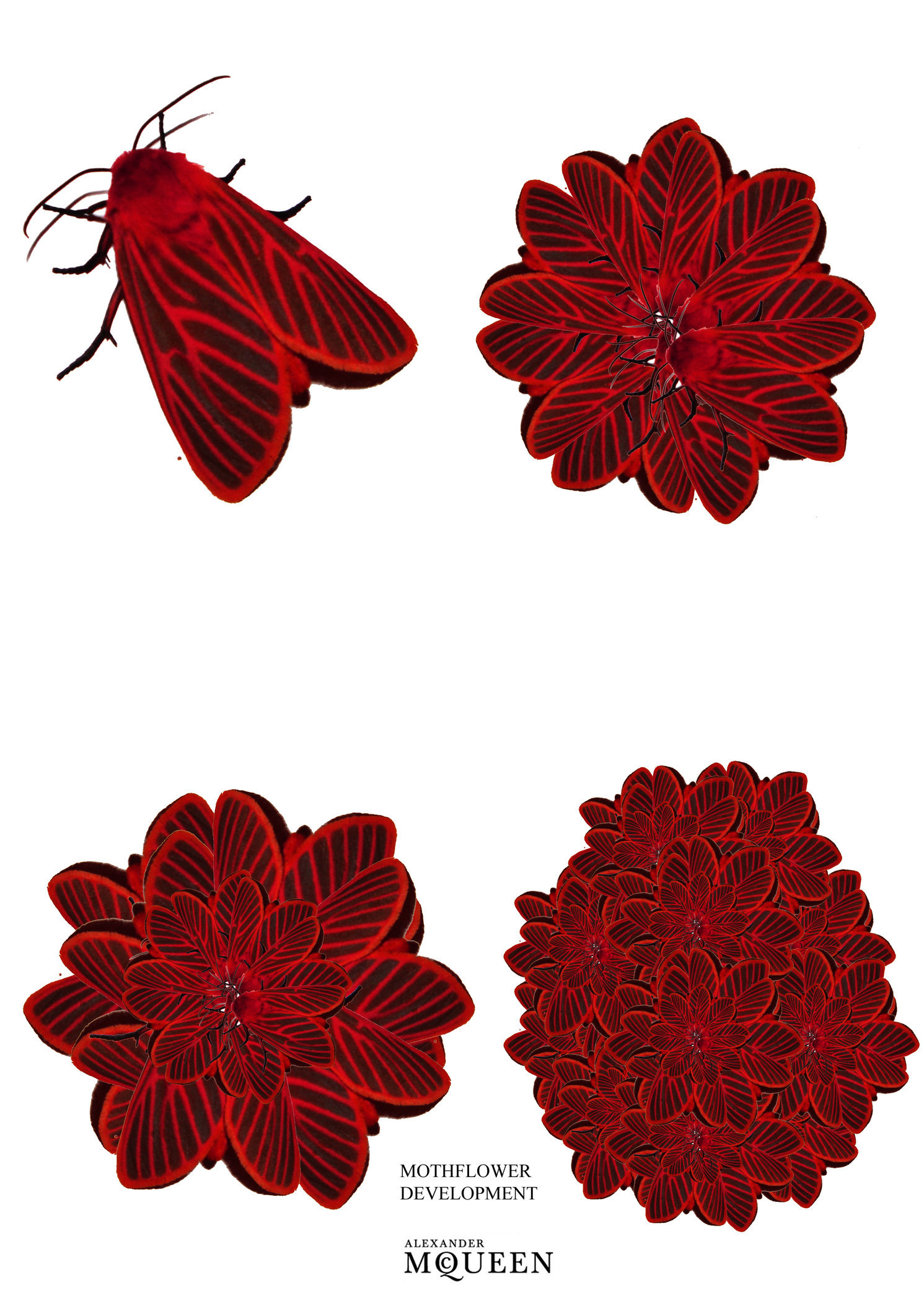 mothflower development.jpg