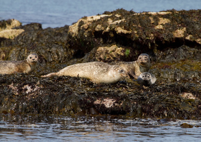 Common Seals and pup