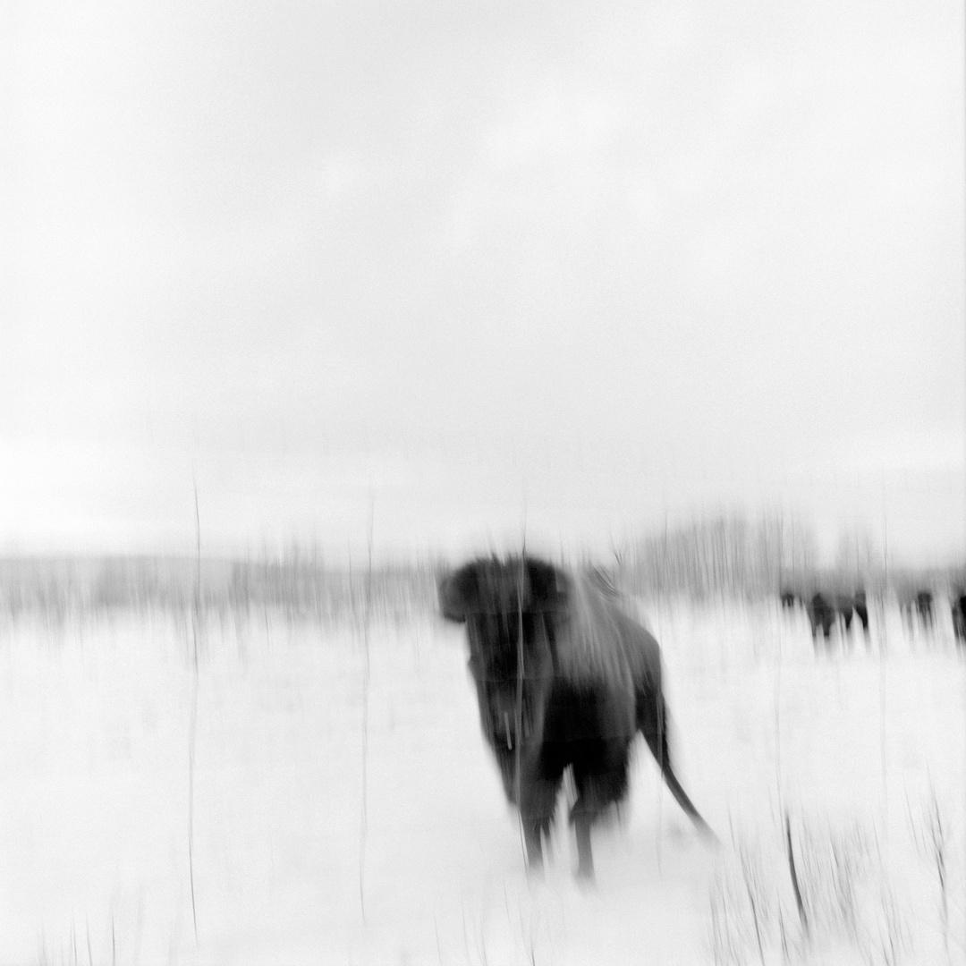 12_Buffalo 1 V1_1.jpg