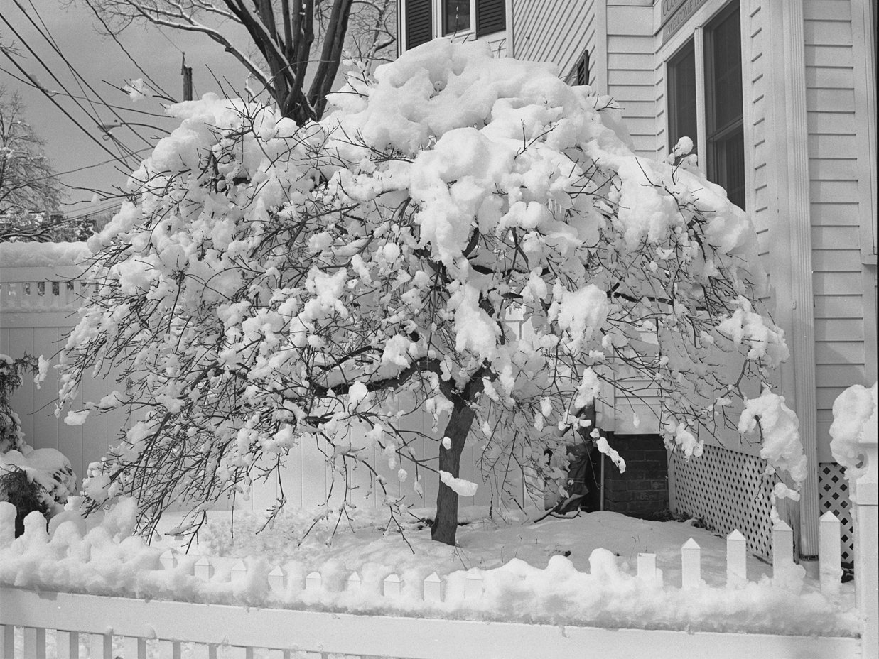 Tree Chandler with snow from neg.jpg