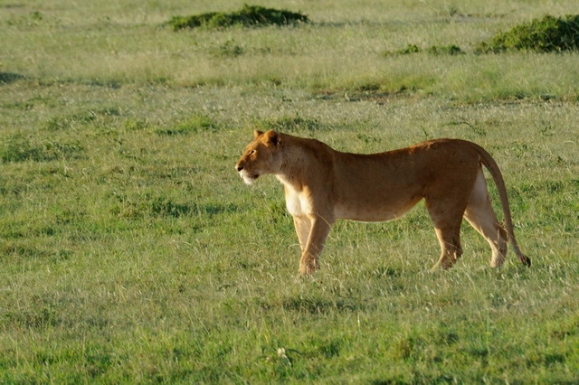 Lioness Spying a Hyena