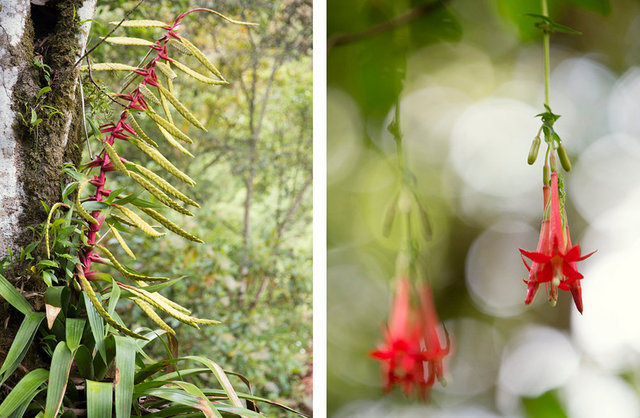cantuta's (right) are the sacred flower of the incas