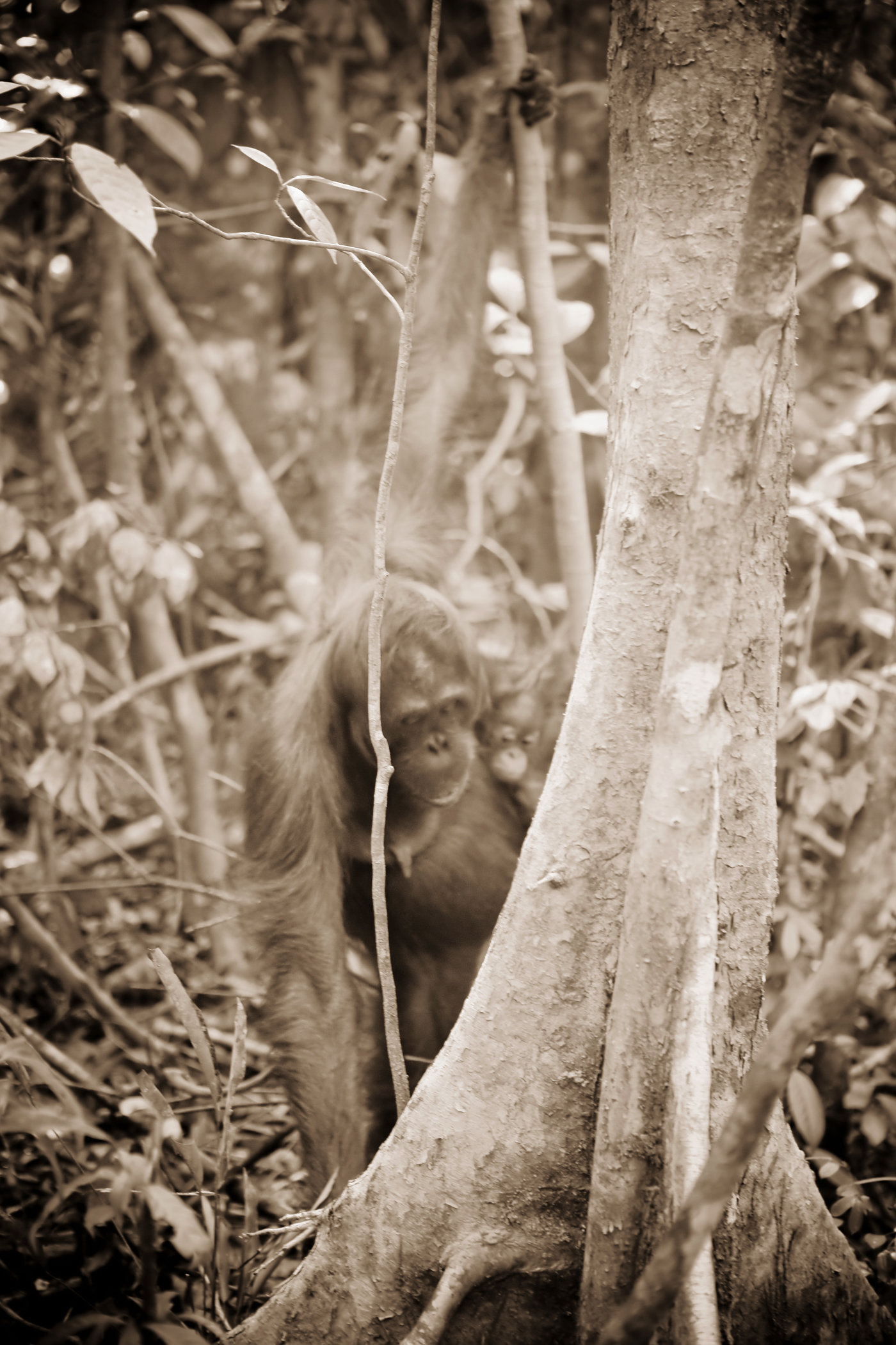 Mom and Baby Orangutans III