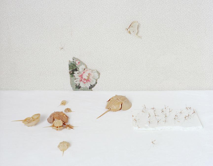 Horseshoe Crab and Crane Flies, c 2010
