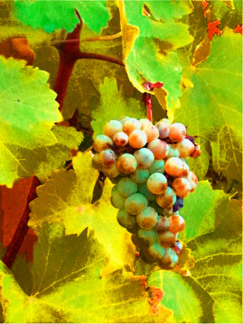 © CORDAY - Paschke Grapes