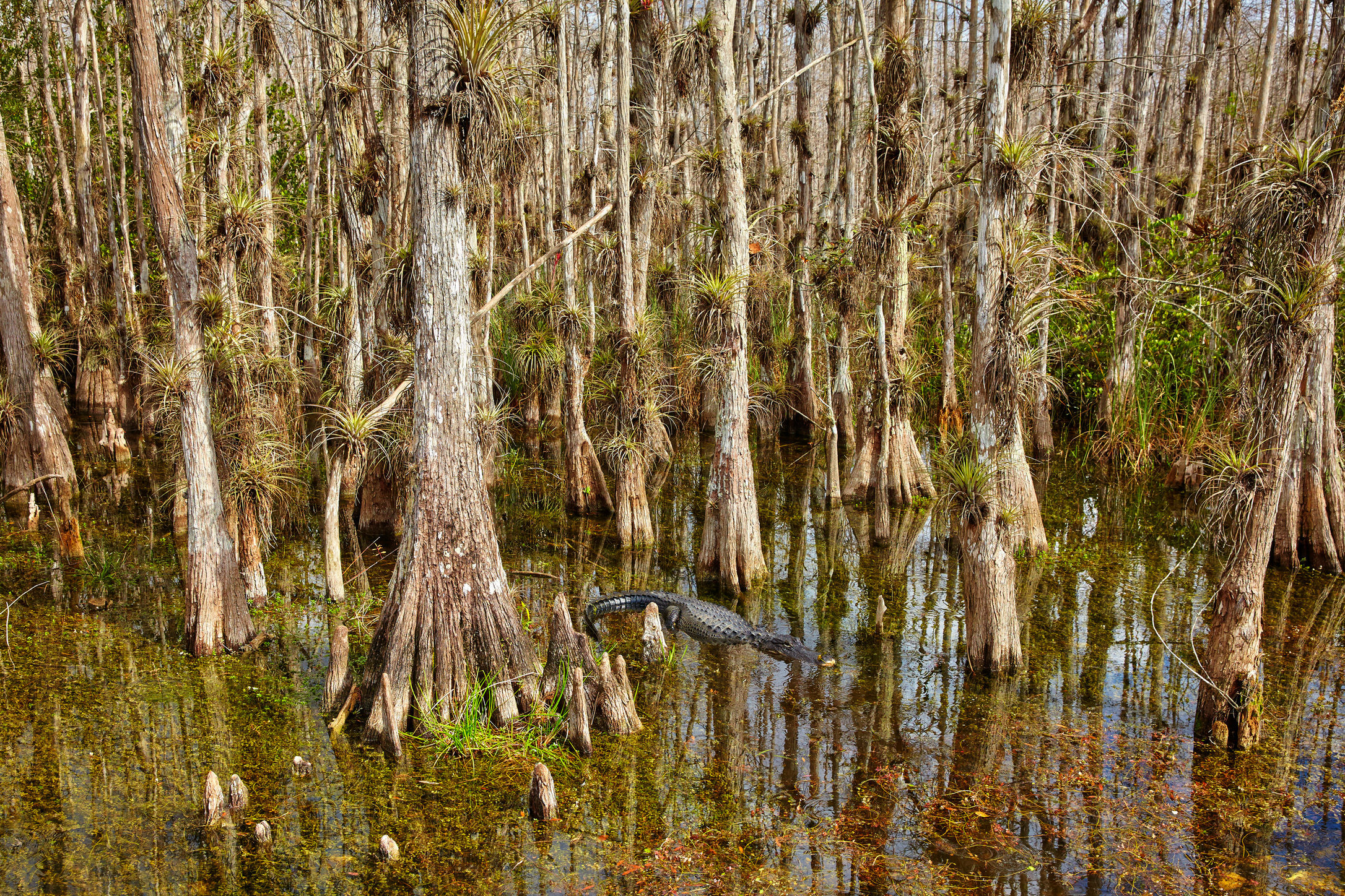 American alligator in Big Cypress.JPG