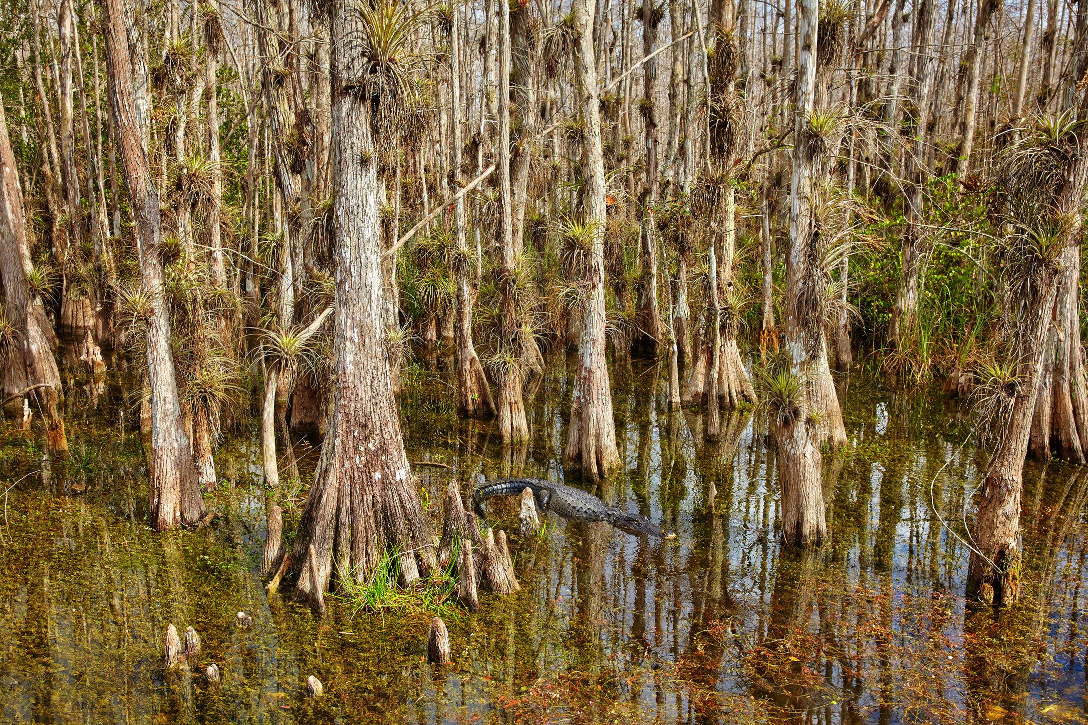 American alligator in Big Cypress.JPG
