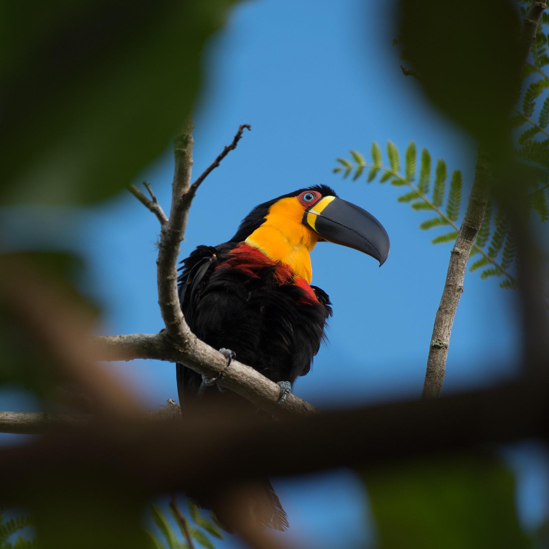 Tucano-de-bico-preto | Ramphastos vitellinus
