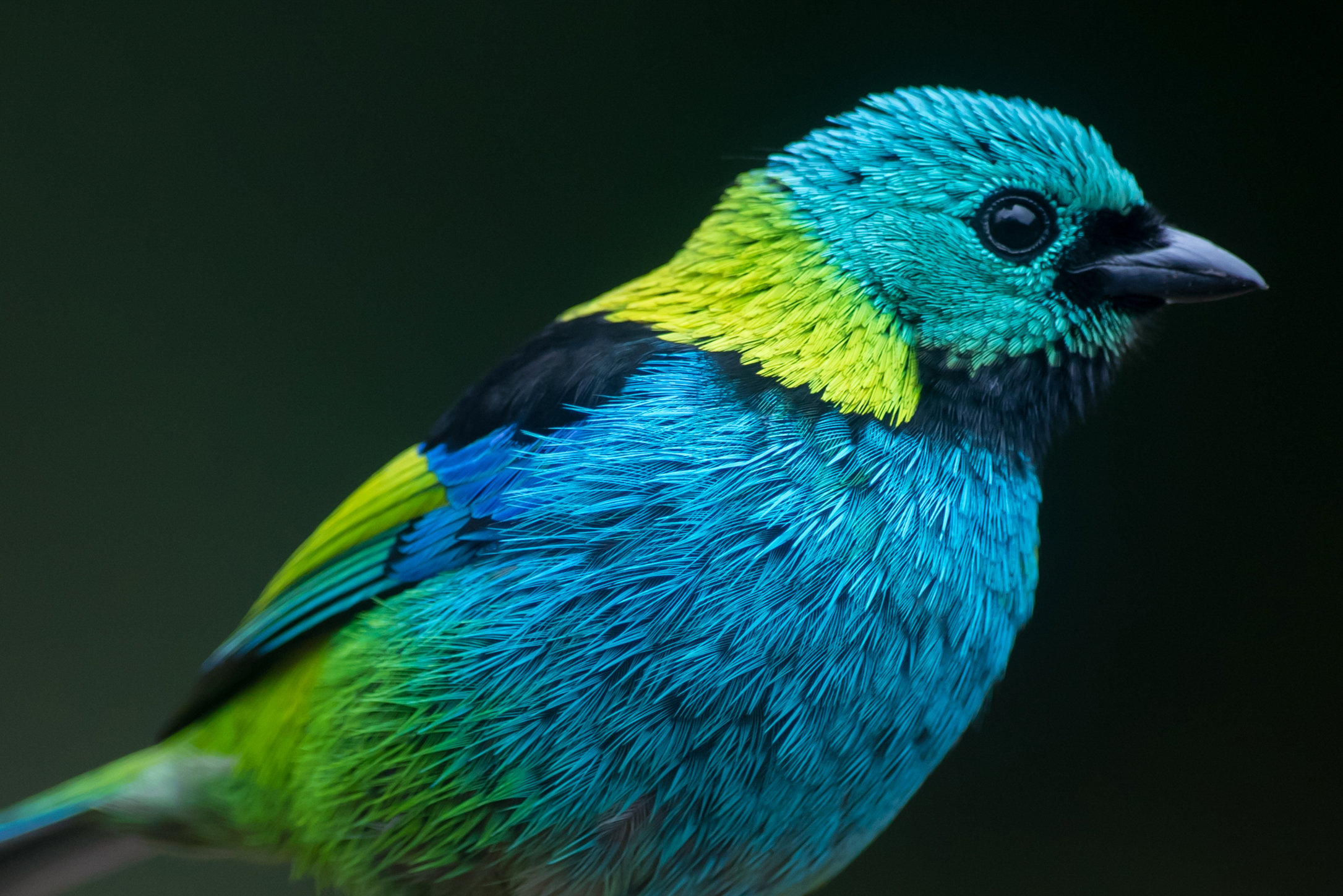 Saíra-sete-cores | Tangara seledon