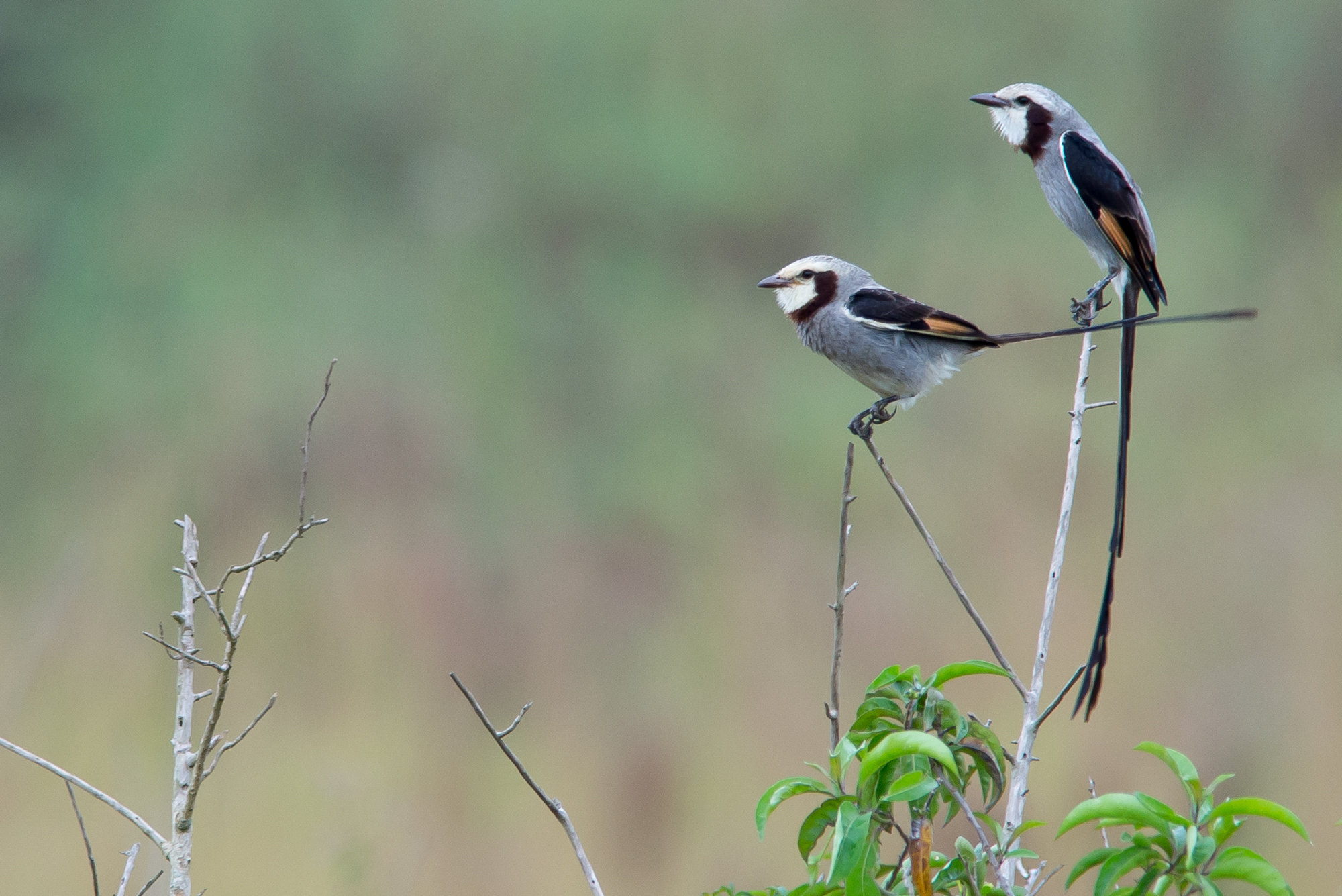 Tesoura-do-brejo | Gubernetes yetapa