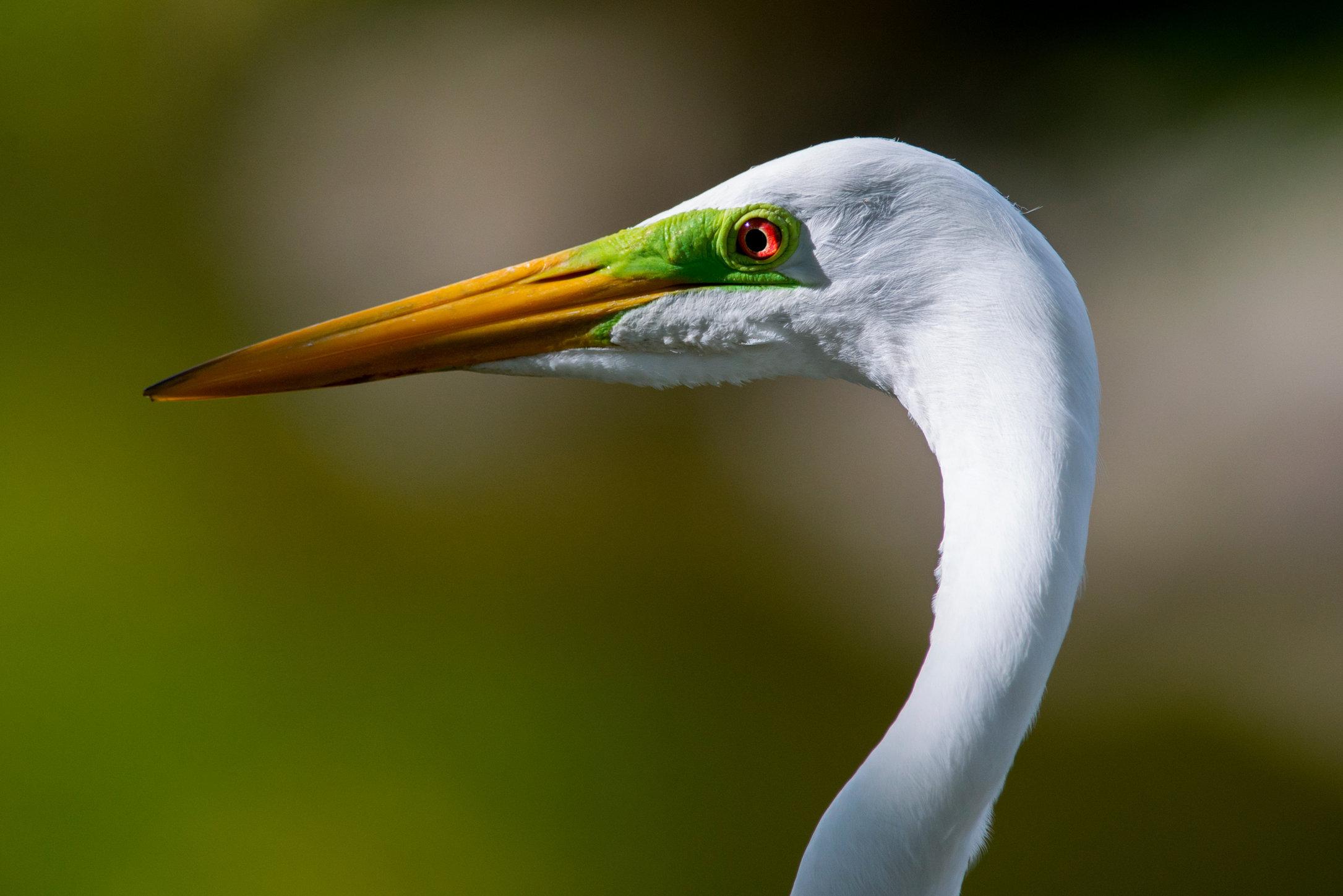 Garça - branca | Ardea alba