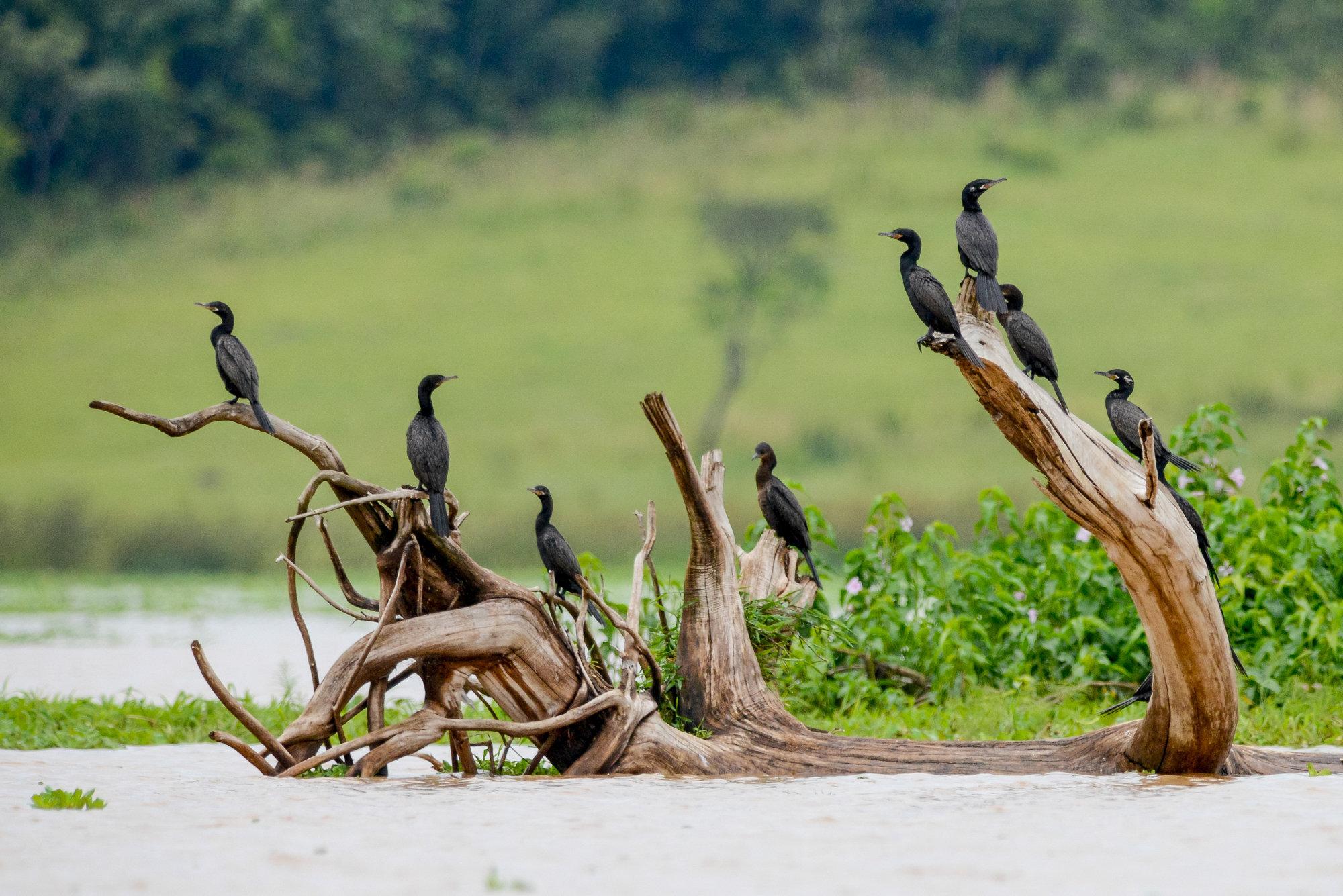 Biguá | Phalacrocorax brasilianus
