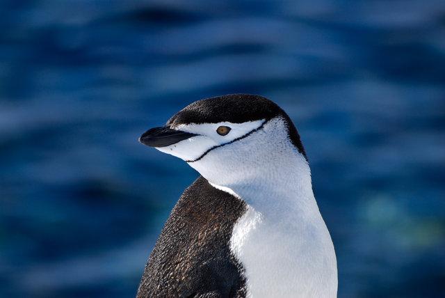 Chinstrap Penguin-Halfmoon Island, Antarctica.jpg