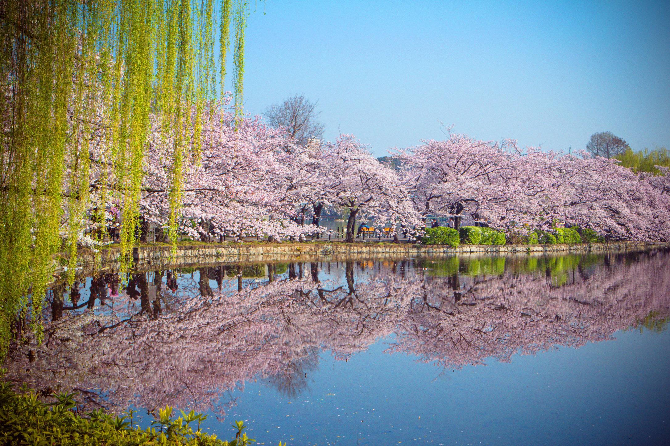 Tokyo Cherry Blossoms I