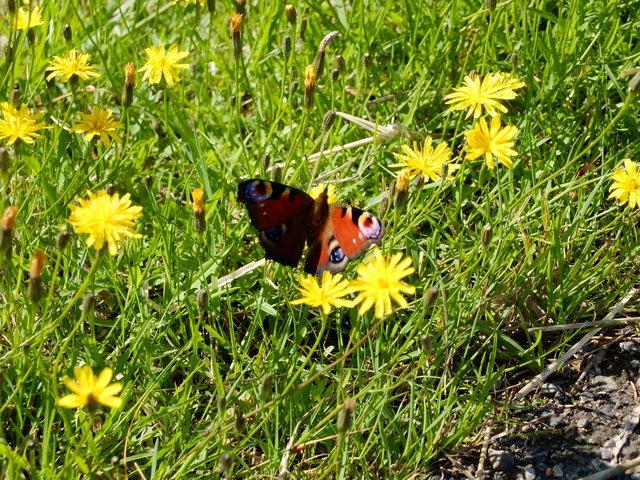 Peacock Butterfly sunbathing on Dandelion Grass by Ali Gracie