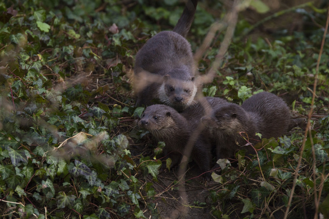 Female otter and two cubs