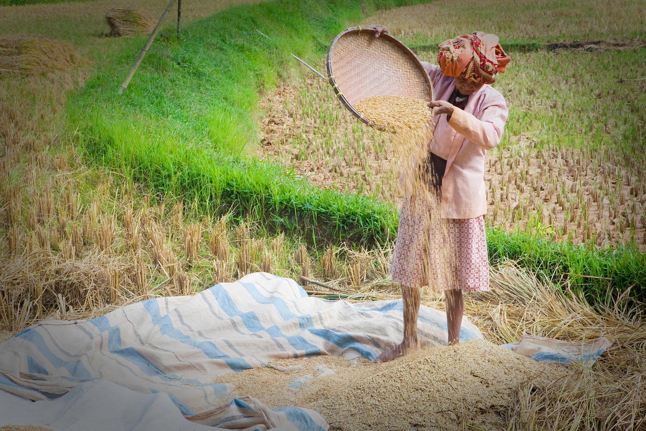 Rice Farming I