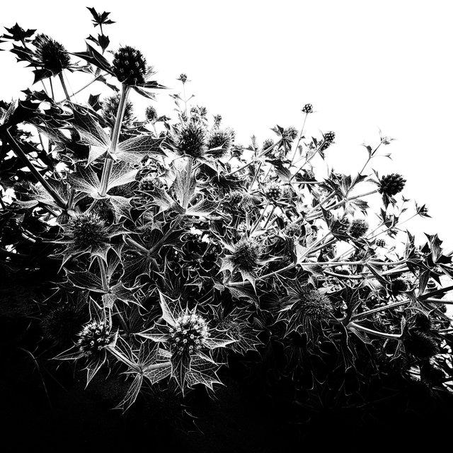 the belgian Sahara Rose .jpg
