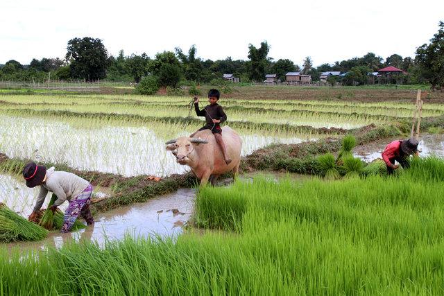 rice,ratanakiri