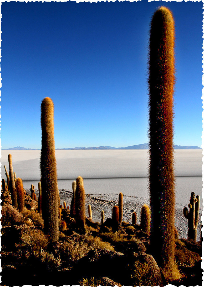 cacti on the salar, bolivia