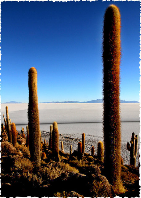 cacti on the salar, bolivia