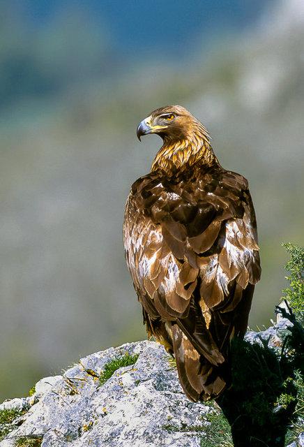 aigle royal