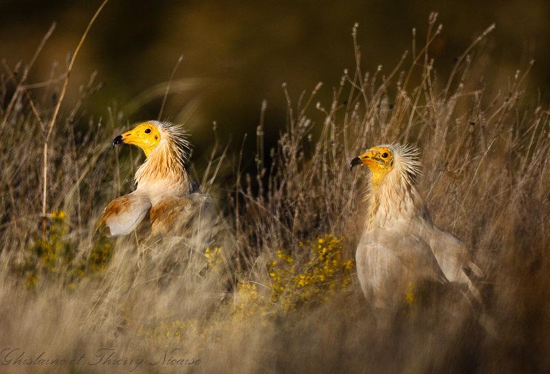 vautour percnoptère 15.jpg