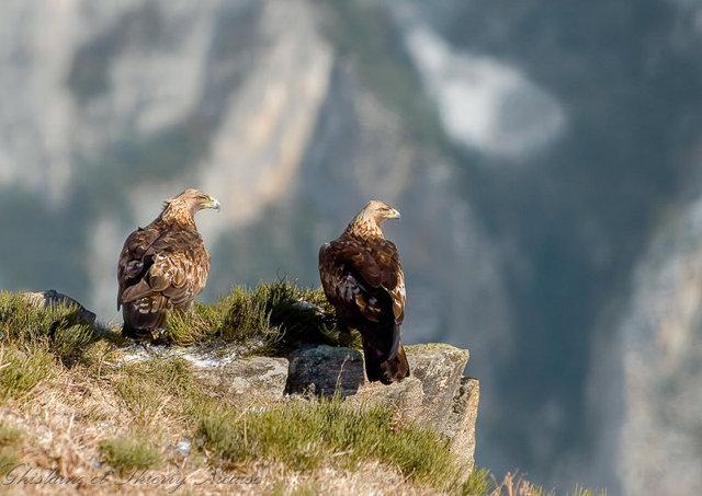 aigle royal, couple