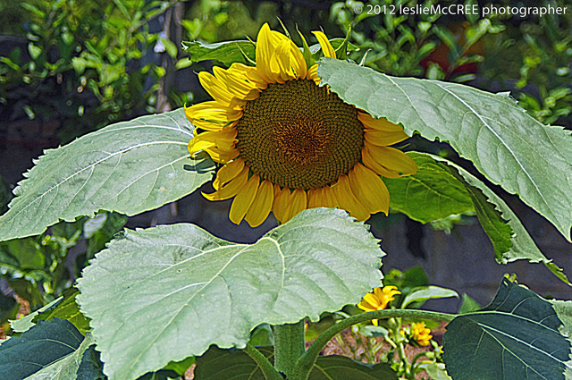 sunflower1ps sharp.jpg