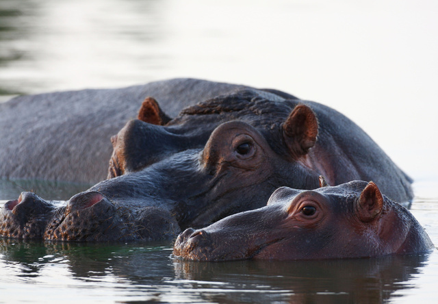 Hippo and calf