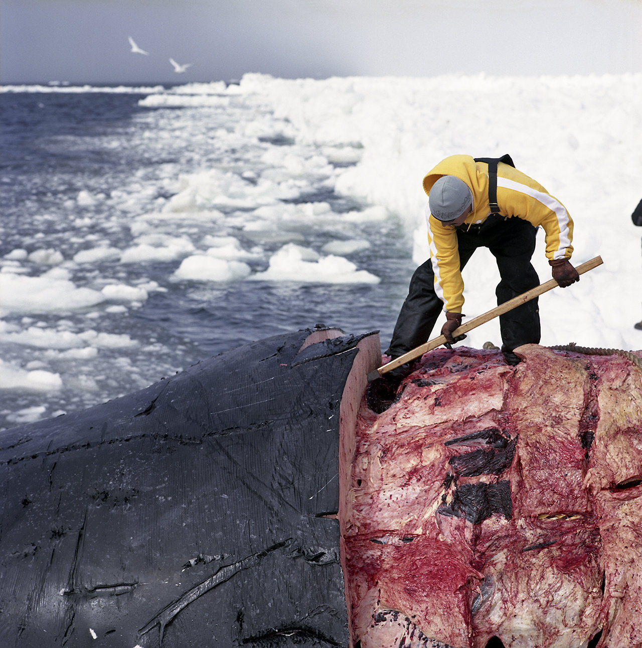 Randy cutting up the whale, 2009