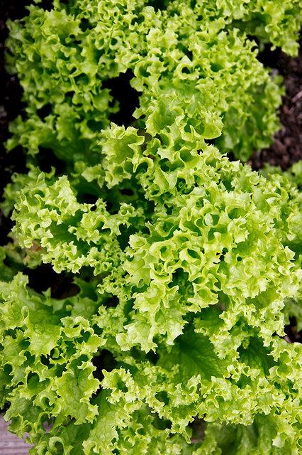 Lettuce 'Lollo Bionda'